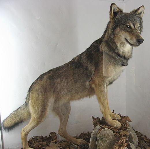 タイリクオオカミ.jpg