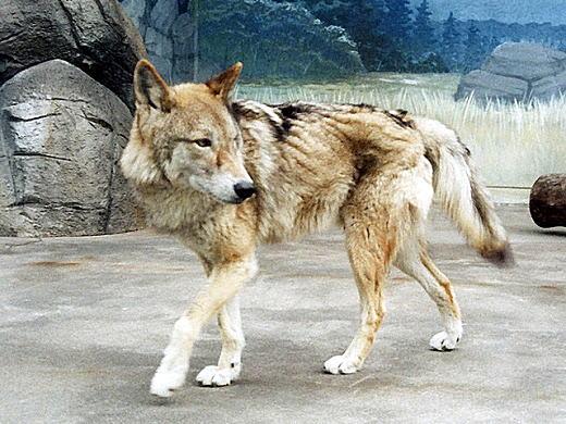 チュウゴクオオカミ.jpg