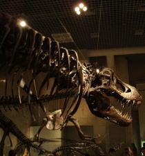 ティラノザウルス標本.JPG