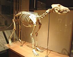 ニホンオオカミ骨格標本.JPG