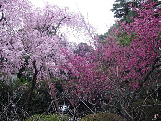 荻外荘近衛桜(春).JPG