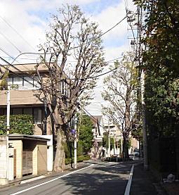 近衛町ケヤキ.jpg