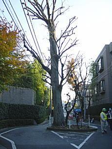近衛町双子ケヤキ1.JPG